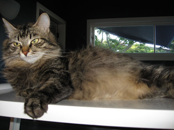 Siberian cat Hoku at 16 months old, and going into the final week of her first pregnancy
