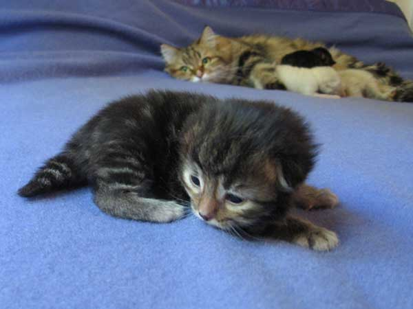 Siberian kitten Isabella at 12 days old, 6 September 2015