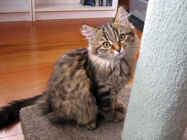 Siberian kitten Inka at 15 weeks old