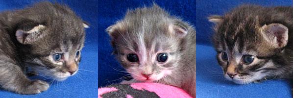 Siberian kittens Hana, Hollie and Hoku