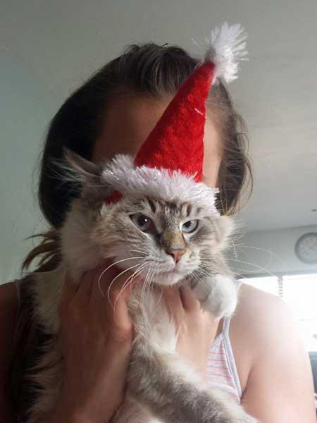 bluebpoint siberian kitten Gustav