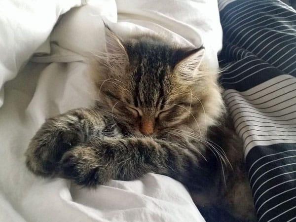 Siberian kitten Moca at 16 weeks old