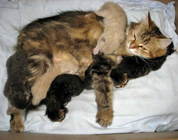 Cici and the J Litter Siberian kittens at 7 days old