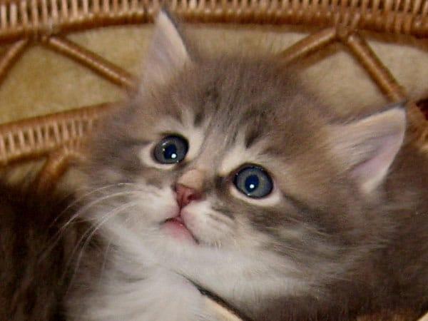 Blue tabby Siberian kitten Jonty at 5 weeks old