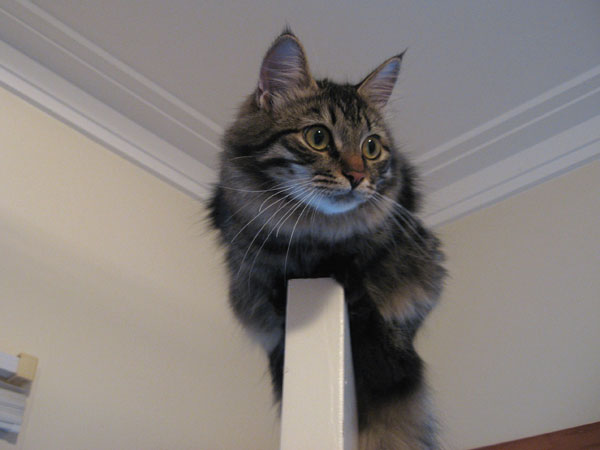 7-month-old kitten Hoku on top of a door