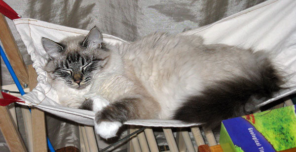 Siberian kitten Ksana in her hammock at 8 months old