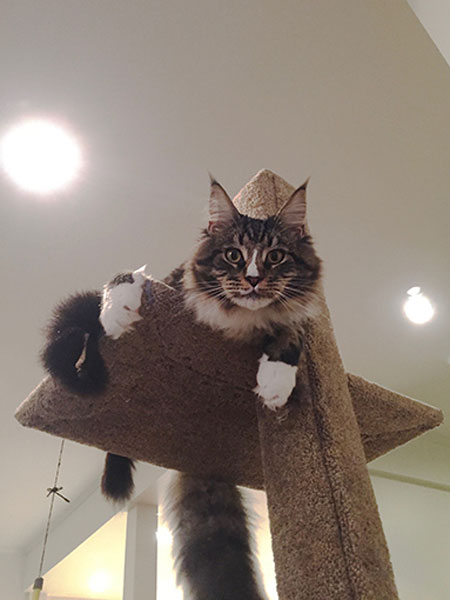 Way up high, Nacho is safe and secure on his Mega Scratcher Deluxe climbing post.