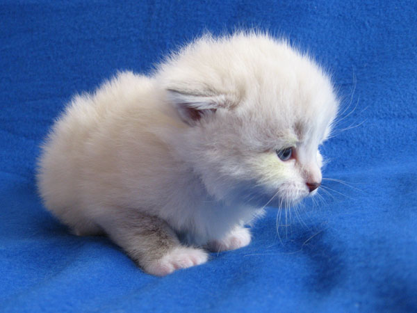 Siberian kitten Katrina at 20 days old, 20 September 2016