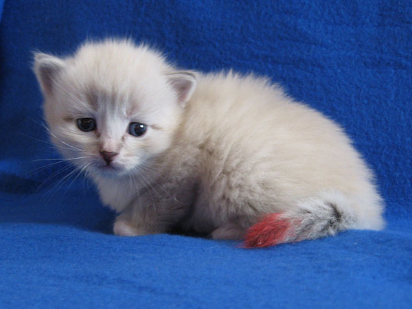 Siberian kitten Kiska at 20 days old, 20 September 2016