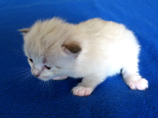 The first kitten in Ksana's first litter is this adorable male colourpoint with white feet. Age 16 days, 26 Nov 2016.