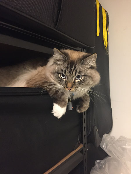 Siberian cat Max at almost 11 months old, 7 Oct 2017