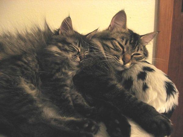 6-week-old Siberian kitten Malinka asleep with her mom Hoku