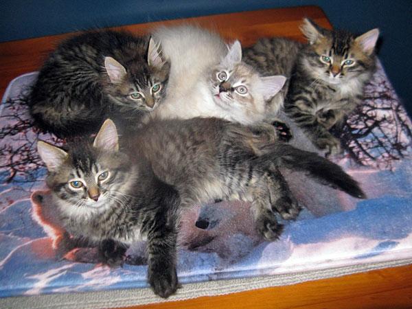 10-week-old M Litter Siberian kittens