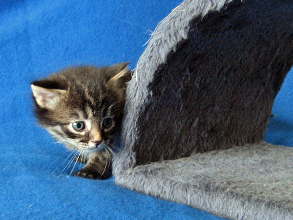 Siberian kitten Malinka at 3 weeks old, 21 Jan 2017