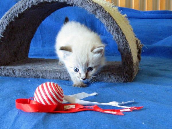 Siberian kitten Monte at 3 weeks old, 21 Jan 2017