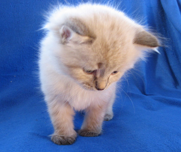 Siberian kitten Nougat at 5 weeks old, 21 May 2017