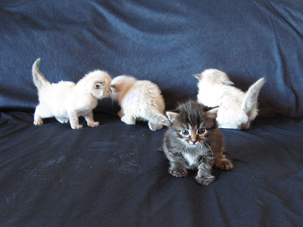 Siberian kitten Otis with his brothers at 3 weeks old, 22 May 2017