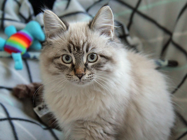 Siberian kitten Nuri at 15 weeks old at his new home, 30 July 2017
