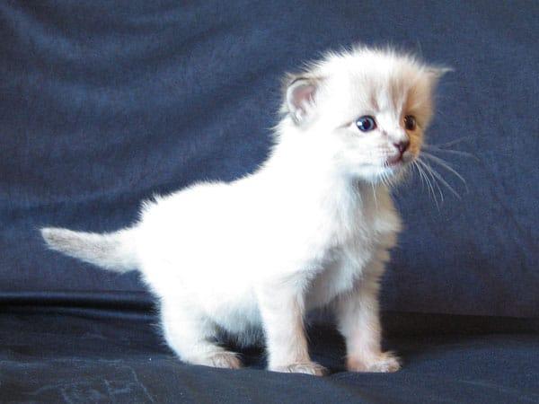 Siberian kitten Oscar at 3 weeks old, 22 May 2017