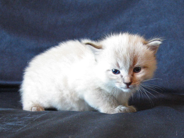 Siberian kitten Ollie at 3 weeks old, 22 May 2017