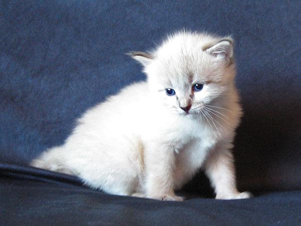 Siberian kitten Ollie at 3 weeks old, 22 May 2017