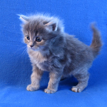 Siberian kitten Palinki at 4 weeks old, 21 Aug 2017