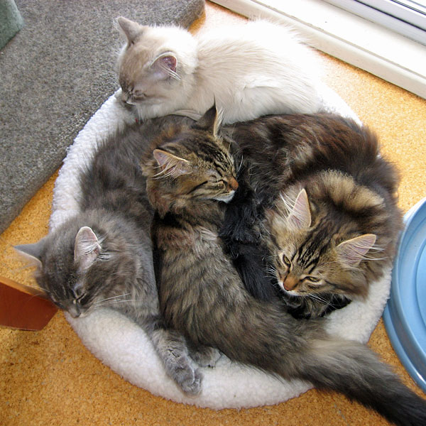 P Litter Siberian kittens at 15 weeks old, 6 Nov 2017