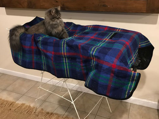 Two-year-old Siberian cat Gracie on a clothes airer