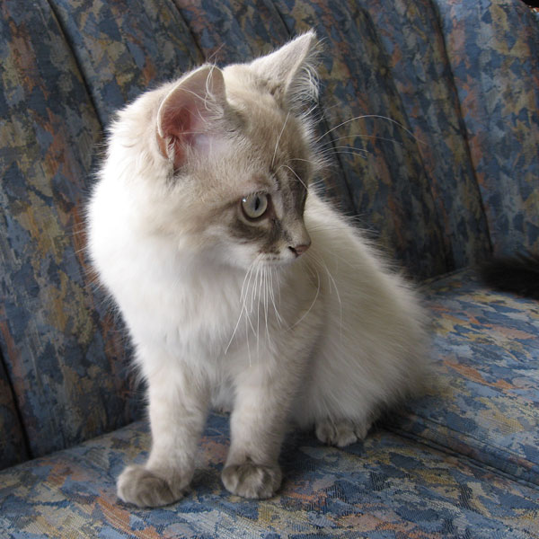 Siberian kitten Pavlov at 17 weeks old, 19 Nov 2017