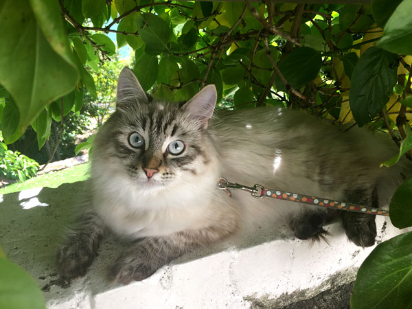 Siberian kitten Milo (ex Nougat) at 7 months old
