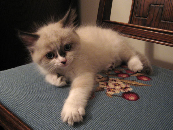 Siberian kitten Quella at 8 weeks old