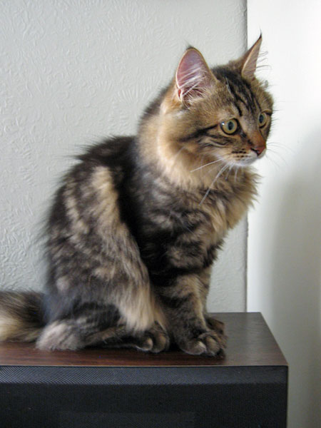 Siberian kitten Pico at 23 weeks old