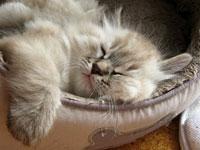 Siberian kitten Georgey