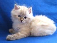 Siberian kitten Jabber