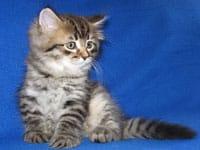 Siberian kitten Jonah