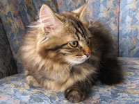Siberian kitten Pico
