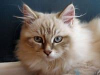 Siberian kitten Juniper