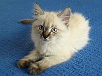 Siberian kitten Quiana