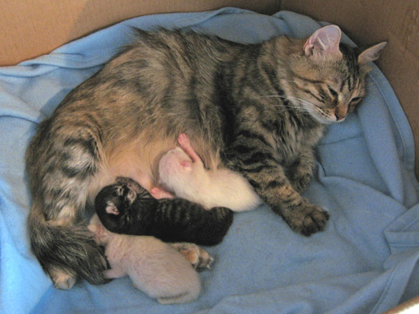 Calina with her three A Litter kittens, 9 May 2012