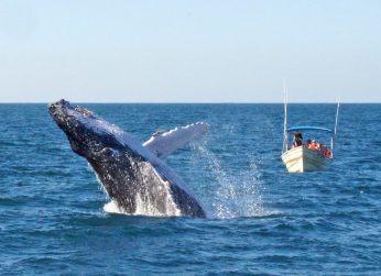 Outreach International: A whale breaches while a boat of watchers look on.