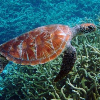 Volunteer: A hawksbill turtle swims over branching coral.