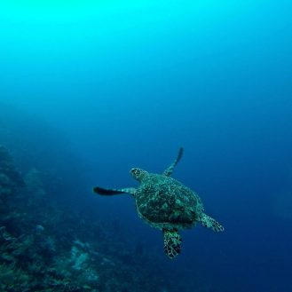 Volunteer: The back of a turtle swimming away into the blue.
