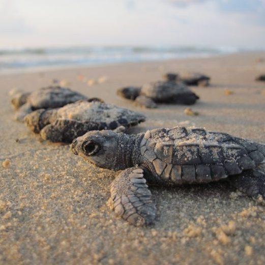 Volunteer: Baby turtles head to the sea.