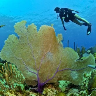 Volunteer: A scuba divers hovers over a sea fan on a coral reef.