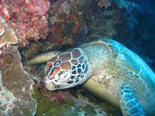 Volunteer: A turtle feeding in Australia