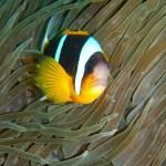 Twobar anemonefish