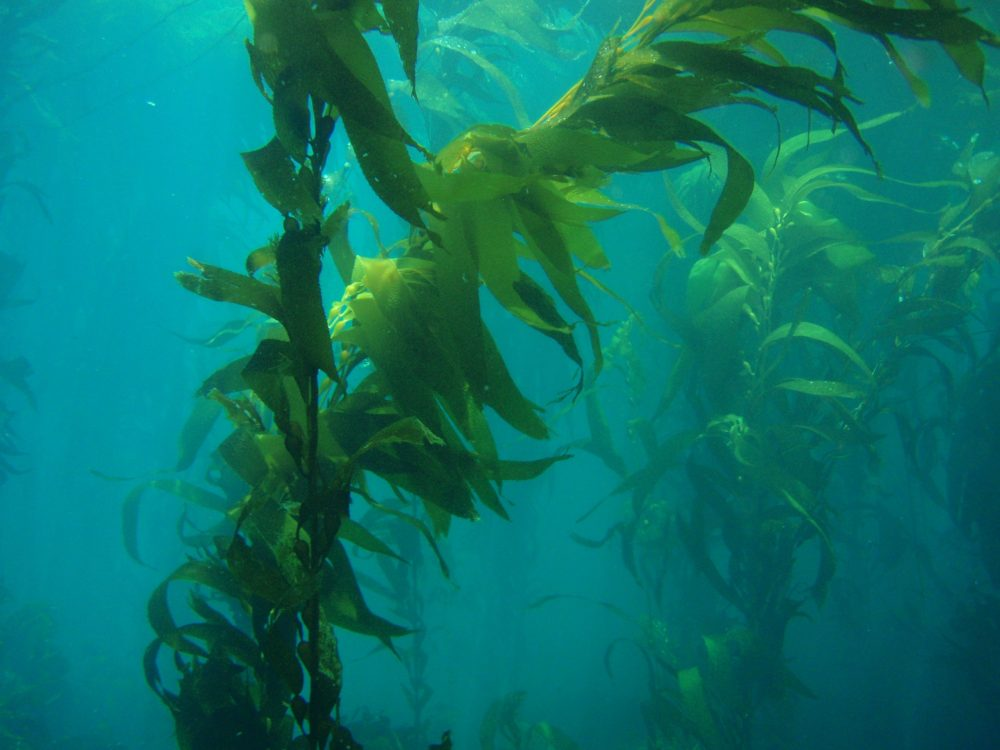 A Kelp forest counted as part of a citizen science project