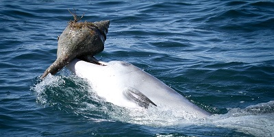 Bottlenose Dolphin and shell