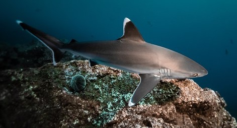 Shark-Sea-Shepherd