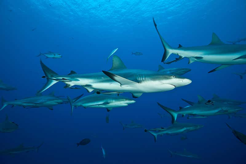 grey sharks - Nature Picture Library Alamy